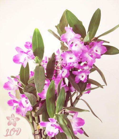 Mi Orquídea Dichosa